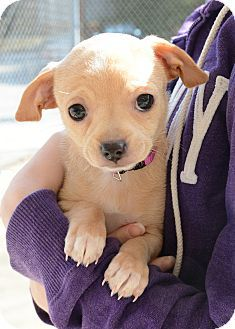 Pictures Of Sweetheart A Chihuahua Poodle Standard Mix For