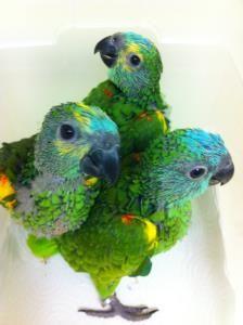 Blue Fronted Amazon Babies For Sale Birds For Sale Pet Birds Birds