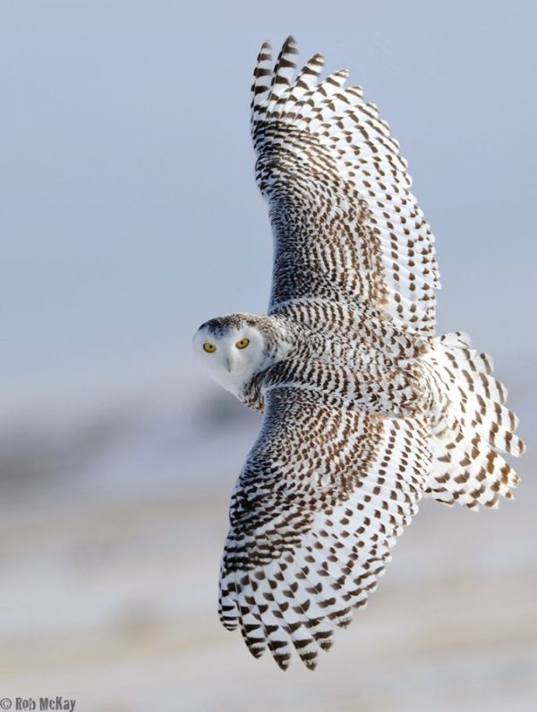 Snowy Owl With Wings Wide Open Female Birds Of A Feather Flock
