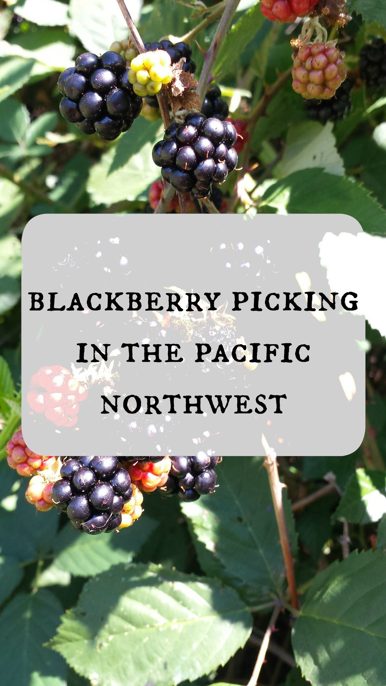 Blackerry Picking in the Pacific Northwest Wild food