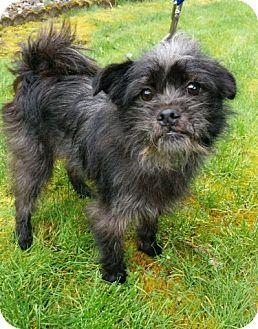 Covington Wa Cairn Terrier Brussels Griffon Mix Meet Scruffy A