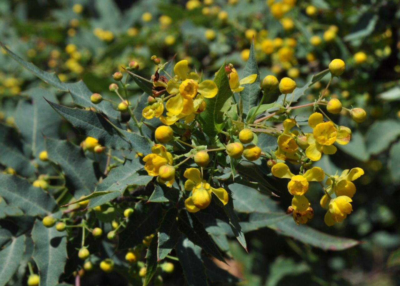 Berberis nevinii (alternatively classified as Mahonia nevinii) is a ...