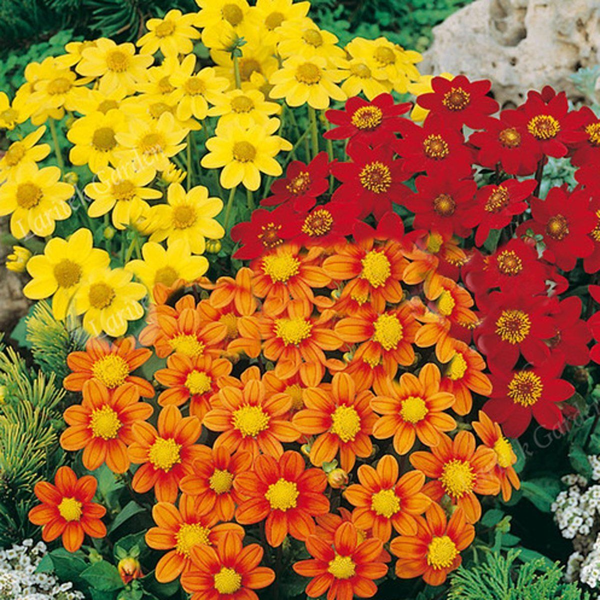 Amazon Best Garden Seeds New Rare Dark Red Orange Yellow 3