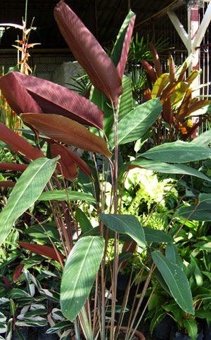 Image of Pleiostachya pruinosa - Heliconia Paradise