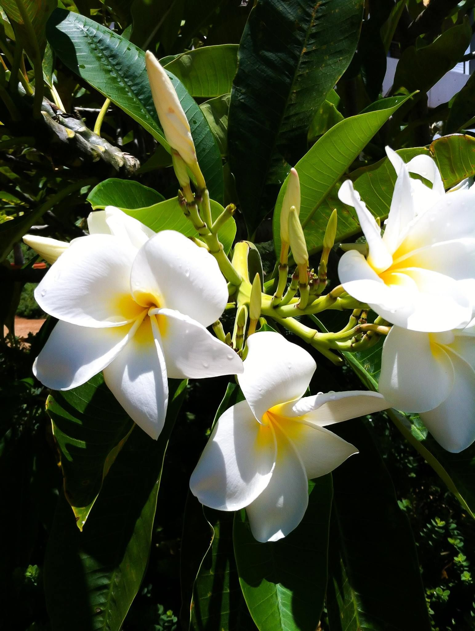 Plumeria hawaii my favorite smelling flowers pinterest explore hawaiian flowers and more izmirmasajfo