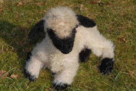 Valais black-nosed sheep - baby