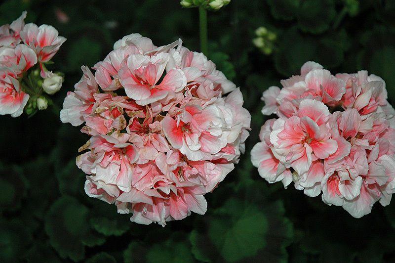 45 Geranium PATRIOT SALMON FRILLS Live Plants Plugs Home ... on Patriot Outdoor Living id=24827