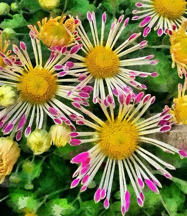 A Number Of Small Pink Yellow And White Flowers They Look Very Beautiful With The Petals Almost Looking Like Thin Matchsticks Glued Onto Central