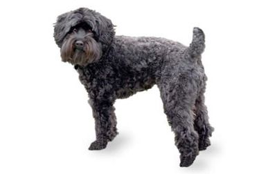 Schnoodle Dog Breed Information Pictures Characteristics Facts Schnoodle Dog Schnoodle Dog Breed Selector