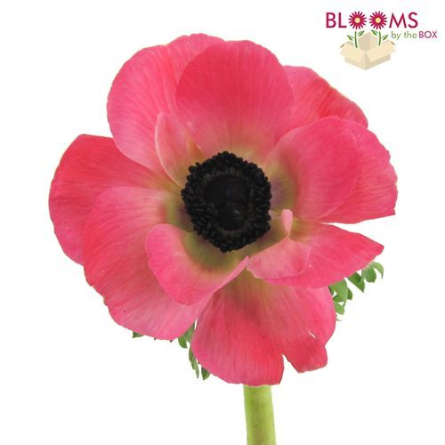 Pink Anemone Flowers Wholesale Bloomsbythebox Com Online Wedding Flowers Wholesale Flowers Wedding Flower Trends