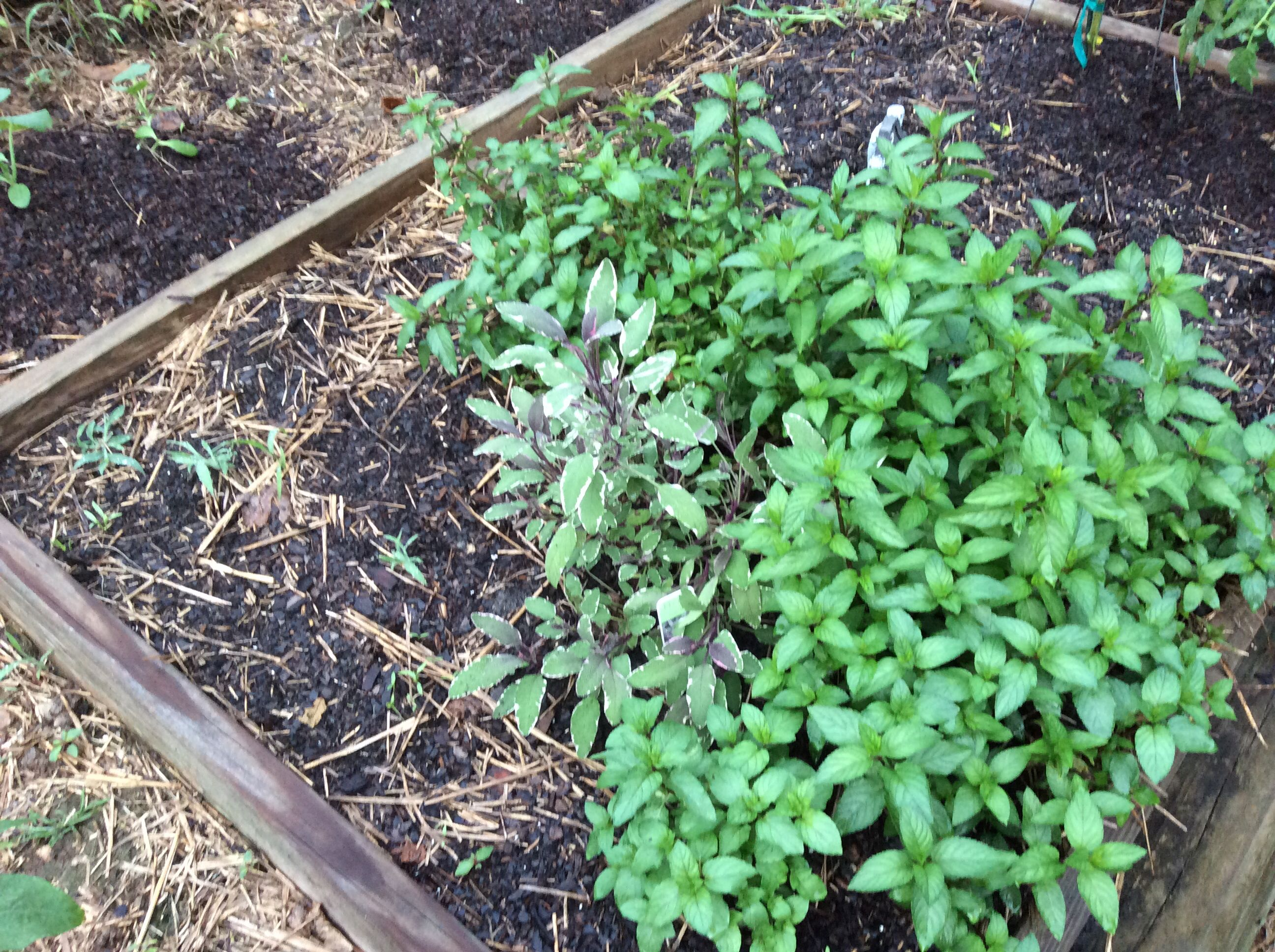 Lots of mint and a little tricolor sage