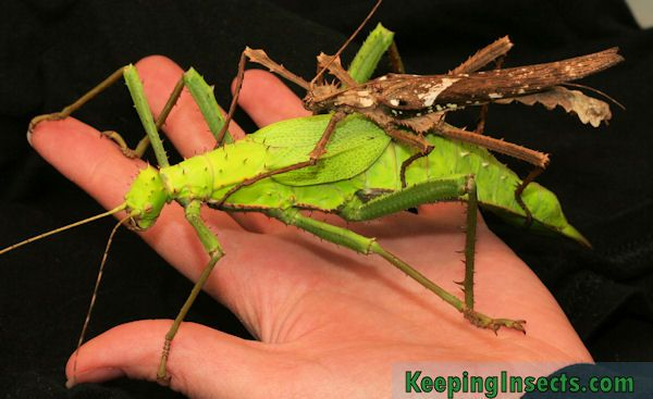 Heteropteryx Dilatata Jungle Nymph Male And Female Female Is