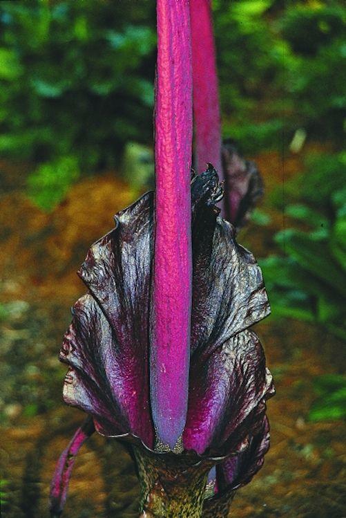 Voodoo Lily Amorphophallus Konjac Konjac Voodoo Lily Plant Delights Nursery Inc Plants Lily Plants Dry Shade Plants