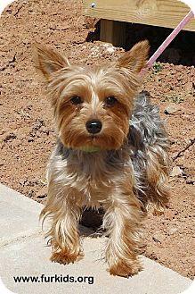 Atlanta Ga Yorkie Yorkshire Terrier Mix Meet Ashlan A Dog For Adoption With Images Yorkie Yorkshire Terrier
