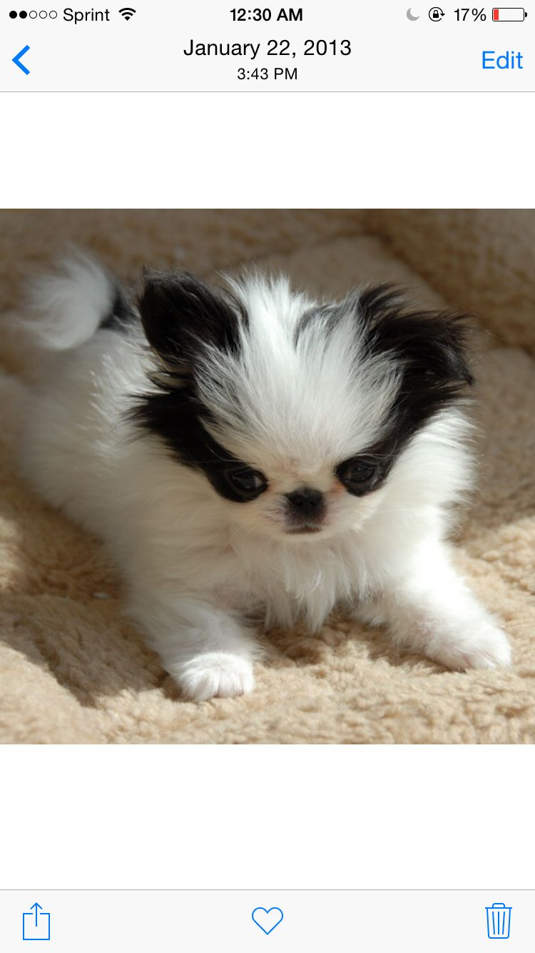 Pin By Jera Bean On I Ll Take Em Japanese Chin Puppies Japanese Chin Dog Japanese Chin