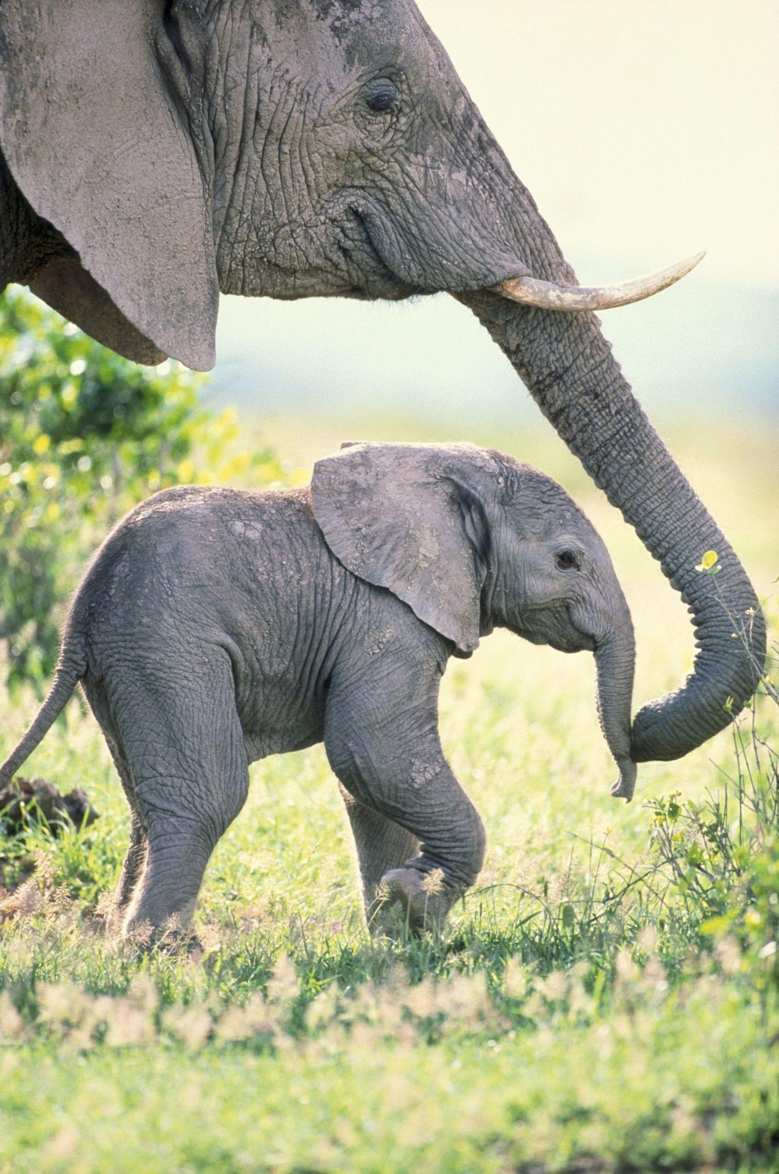 African Elephant Cow and Calf, Amboseli National Park, Kenya