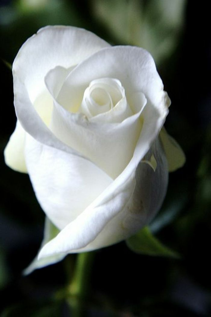 Rose blanc ed whte o s e s pinterest explore rose meaning white roses meaning and more mightylinksfo