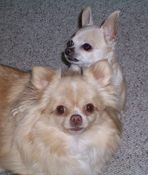 Mother And Daughter Chihuahuas