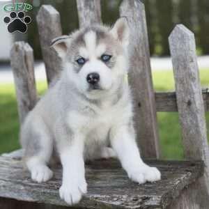 Siberian Husky Puppies Price Husky Puppies Price Siberian Husky