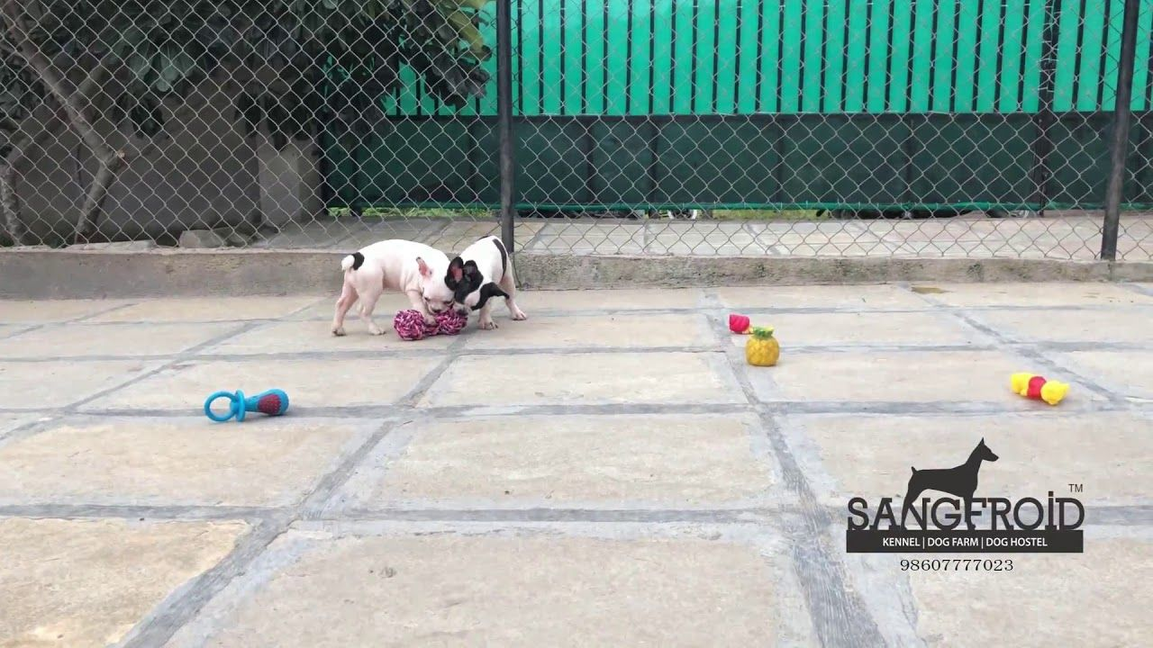 French Bulldog Puppies For Sale In Mumbai Callclick For Number