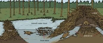 Beaver Lodge Google Search Tiere Biber Bilder