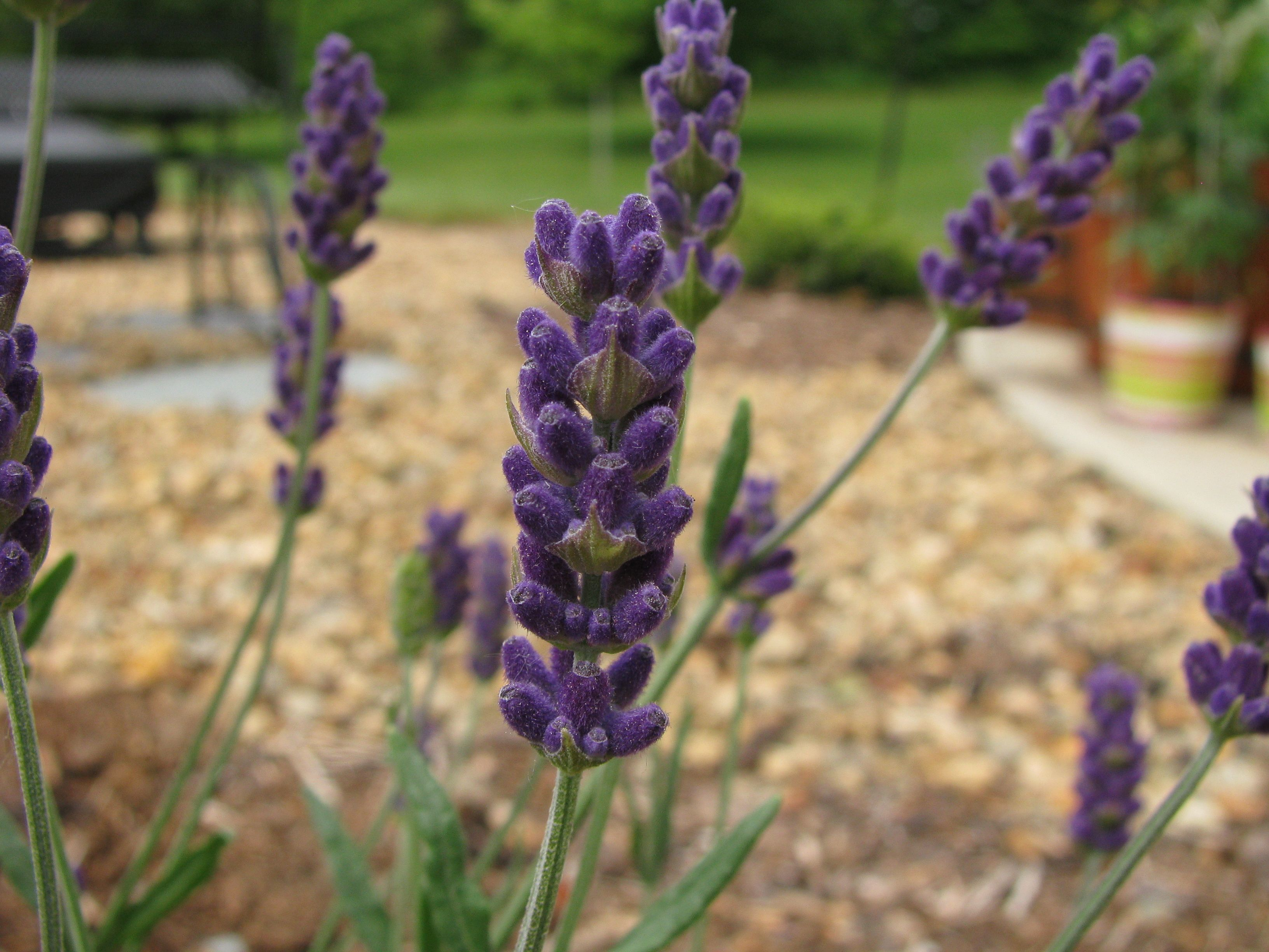 Lavender Hidcote Blue File Lavandula Angustifolia Hidcote Blue Jpg Wikipedia Plants Perennial Garden Perennials