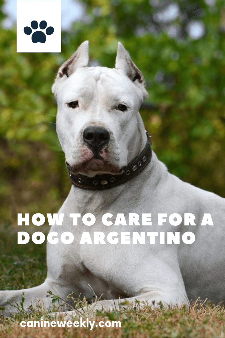 Dogo Argentino Size Temperament And Health Dogo Argentino Dog