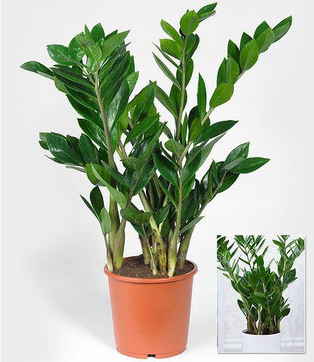 Mein Schöner Garten Shop zamioculcas im 17 cm topf 1 pflanze im mein schöner garten shop