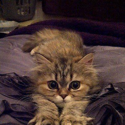 Chinchilla Persian Ragdoll Variant Pure Cuteness Cute Animals
