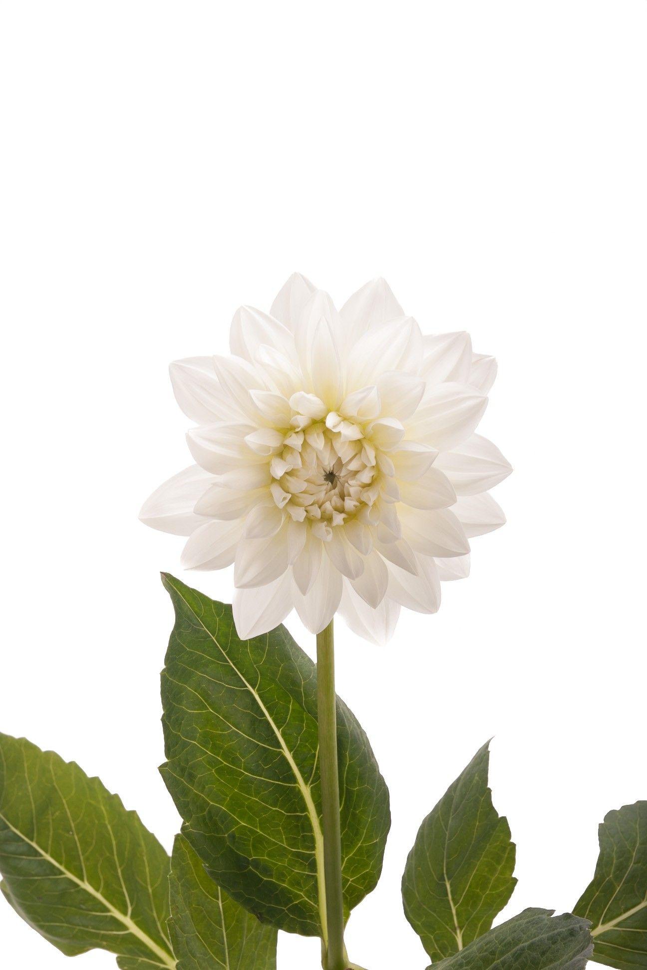White Dahlia Flower Dahlias Types Of Flowers Flower Muse Types Of Flowers Dahlia Flower White Dahlias