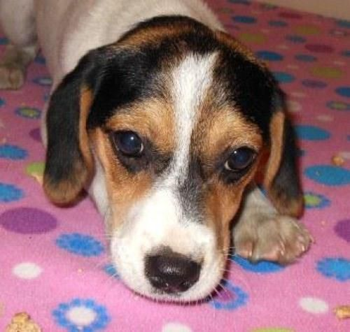 Adopt Cupid On Adoptable Beagle Dogs Rescue Dogs