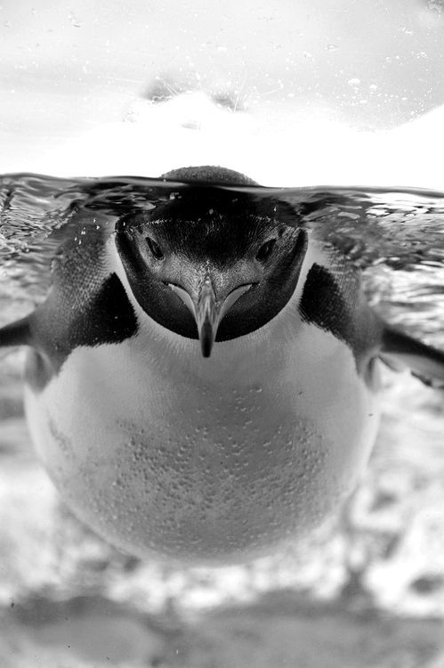 ♥ In love with this photo. Beautiful, crisp, clear and such a creative angle. Penguin love all around.: