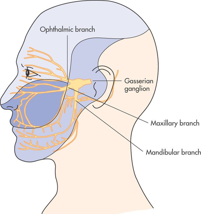 Pathway Of Trigeminal Nerve And Facial Areas Innervated By Each Of