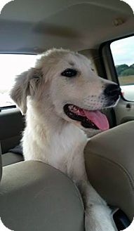 New York Ny Great Pyrenees Mix Meet Houston A Puppy For Adoption Http Www Adoptapet Com Pet 17086032 New York New Yor Kitten Adoption Pets Pet Adoption
