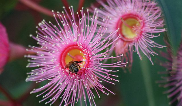 Yellow Gum flower . Fantastic info for bee attracting Trees and Shrubs as well as flowers