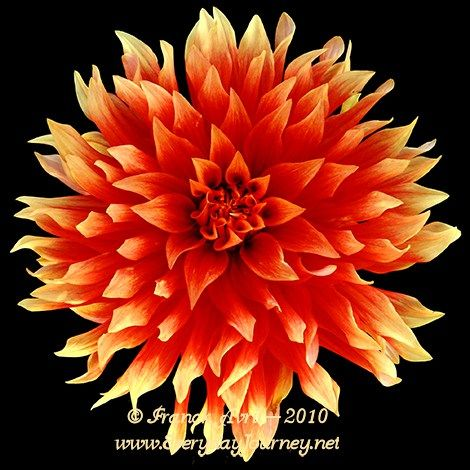 Hot Tamale Aztec Dahlias Dahlia My Flower Beautiful Flowers