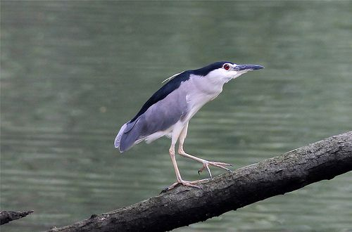 Nycticorax nycticorax (Black-crowned Night Heron)