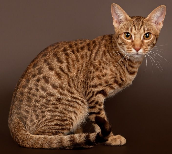 Ocicat With Images Cat Breeds