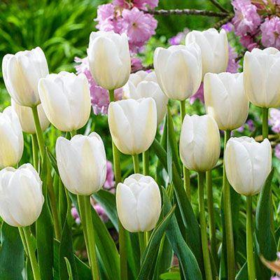 May Flowering Tulip Clearwater K Van Bourgondien Spring Bulbs Spring Tulips Bulb Flowers
