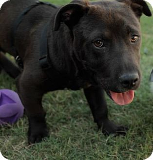 Tyson A Corgi Pitbull Mix That I Wish I Could Adopt Pets