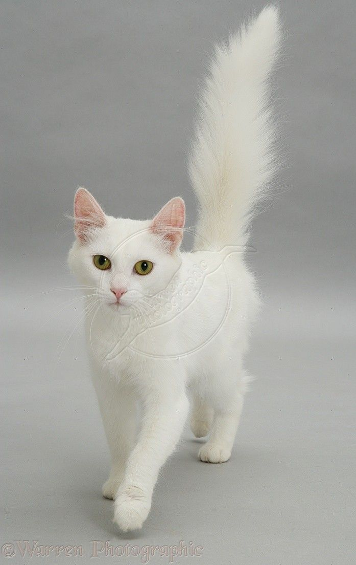 White Cat Walking Forward Photo Pretty Cats Kittens Cutest Gorgeous Cats