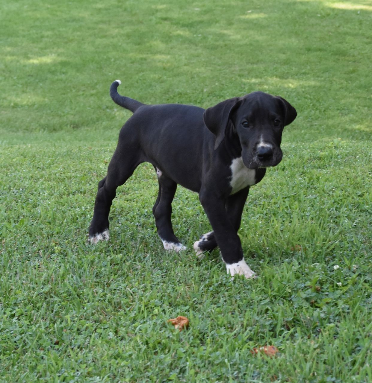 Pin By Vulpine Great Danes On Mantle Great Dane Puppies Mantle
