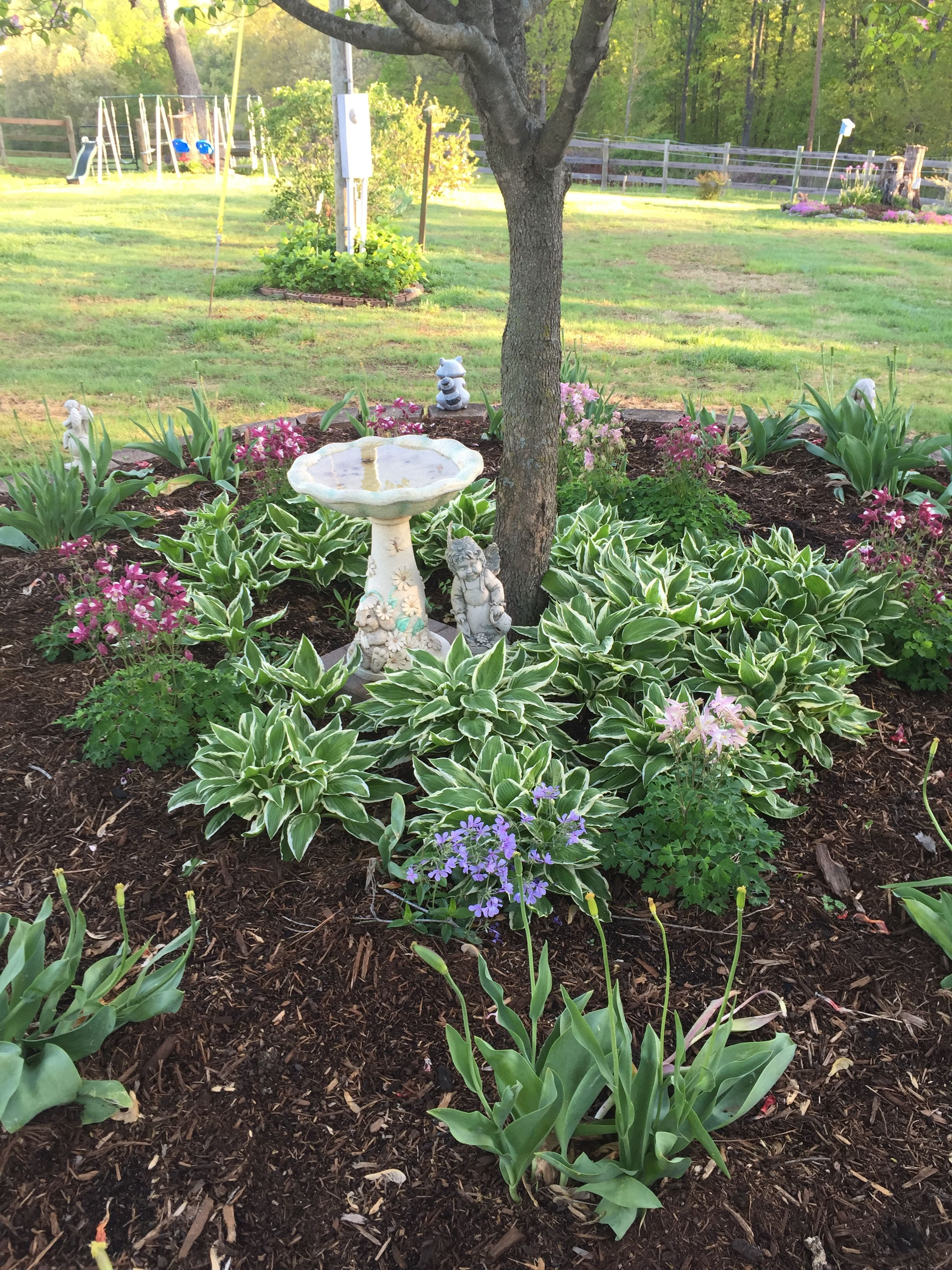 Shade bed under my pink dogwood tree--ring of hostas with columbine ...
