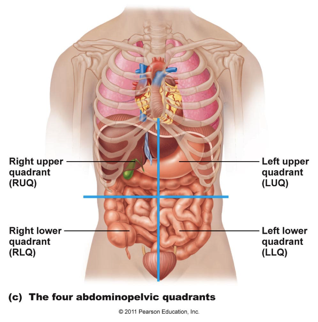 abdominal organs anatomy | All about Nursing | Pinterest | Nclex
