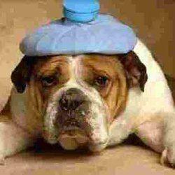Hungover Dog