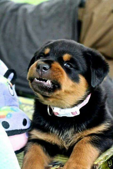 Rottweiler Loving Confident And Loyal Pets Cute Dogs