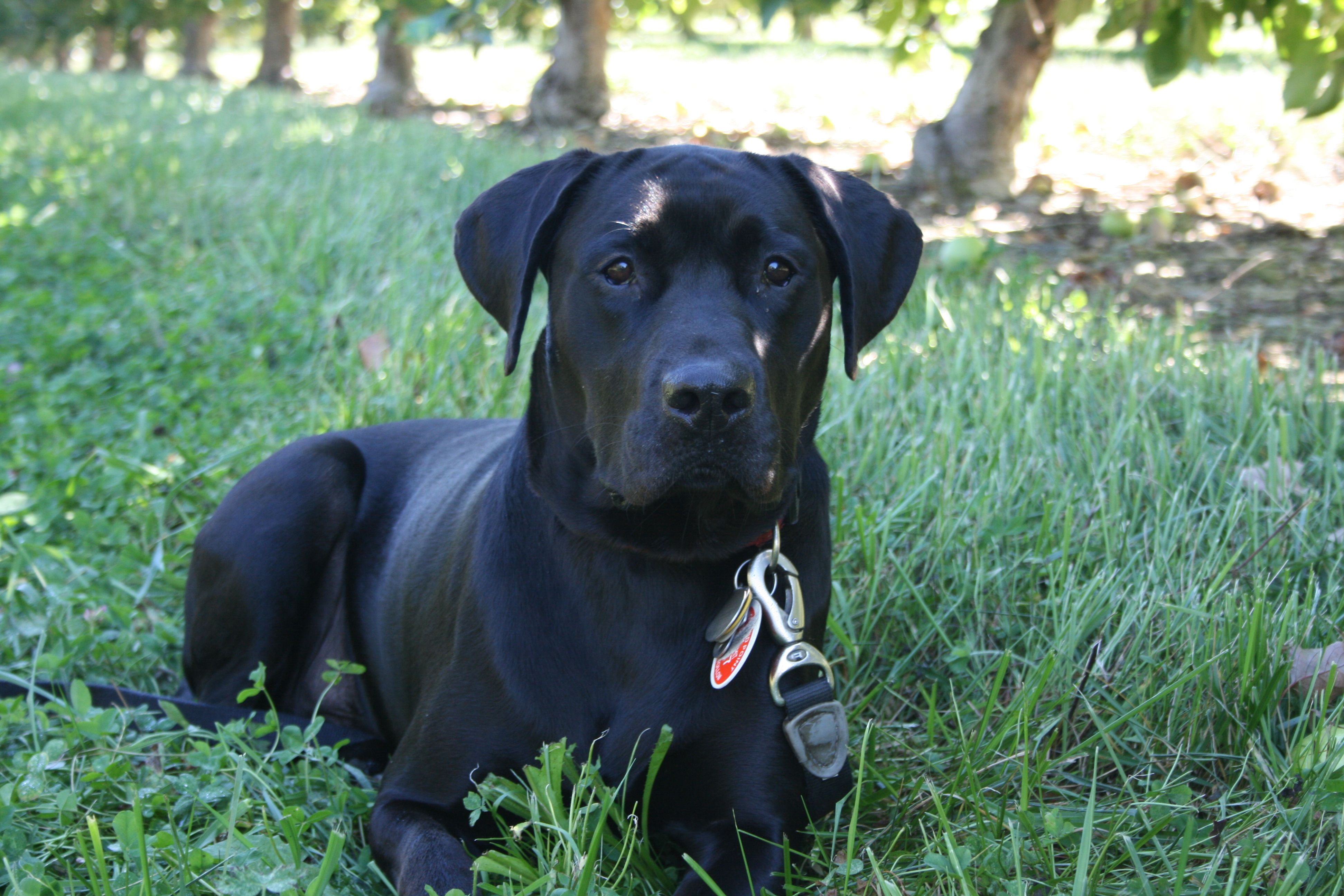 black lab pitbull mix welcome to the love chocolate