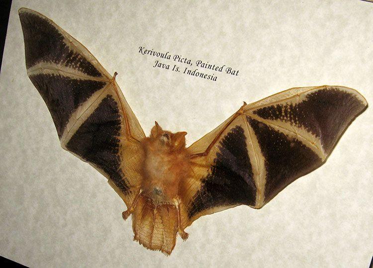Painted Bat in Box Frame Kerivoula picta