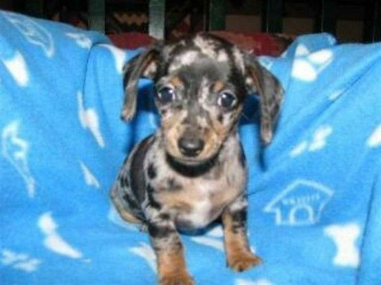 Chiweenie Im A New Owner And Am Already In Love With This Cute