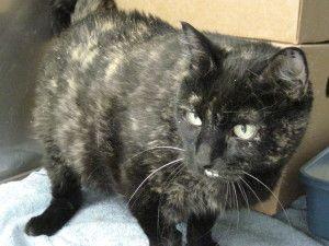 Adopt Miss Kitty At Federal Way Petsmart On Miss Kitty Short Hair Cats Kitty